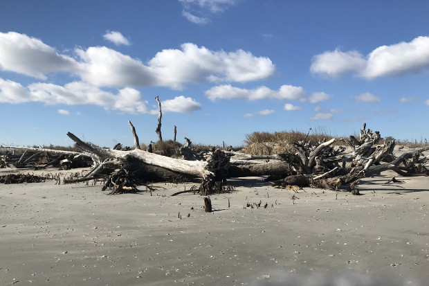 On Parramore Island, what was once a maritime forest is now essentially dead — a change brought about, at least in part, by climate change. (Photo contributed by Coastal Plant Ecology Lab)