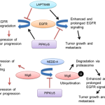 Role of PIPKIi5 in EGFR Regulation